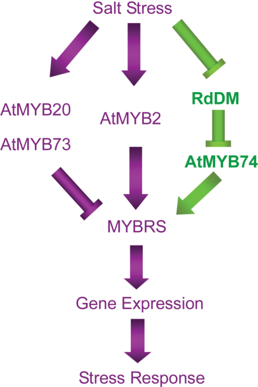 Schematic model of the transcriptional regulation of salt stress signalling via MYB, showing the involvement of a putative R2R3-MYB transcription factor member, AtMYB74, regulated by RdDM, in controlling the positive regulation of transcriptional responses to salt stress. The purple arrow represents results obtained from previous studies, and the green arrow represents the results of the present study. (This figure is available in colour at JXB online.)