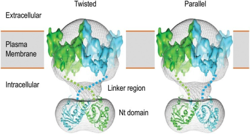 3D structure model of human AE1 dimers obtained by cryo-EM. Shown here are two potential organizations of the AE1 dimers: twisted (left) and parallel (right). The two molecules of AE1 are shown in different color. The figures are modified from Jiang et al. (2013).