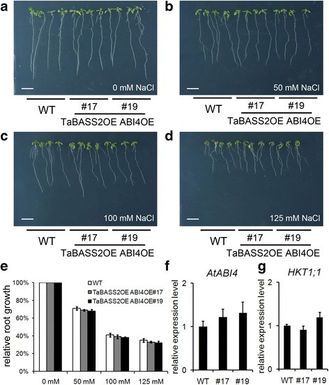 The enhanced salinity tolerance in 35S::TaBASS2 Arabidopsis plants relies on ABI4 suppression. a-d The wild-type seedlings and two transgenic lines constitutively expressing both TaBASS2 and ABI4 (TaBASS2OE ABI4OE #17 and #19) after a ten-day treatment with 0, 50, 100 or 125 mM NaCl. Bar = 1 cm. e Relative root growth of the wild-type and TaBASS2OE ABI4OE seedlings. Error bars represent the standard errors (n = 3), with each replicate comprising at least 30 seedlings. f, g The expression levels of ABI4 (f) and HKT1;1 (g) in the wild-type and TaBASS2OE ABI4OE seedlings. Error bars represent the standard errors (n = 3), with each replicate comprising at least 12 seedlings. The expression levels were determined by RT-qPCR using AtACT2 in Arabidopsis as the internal control