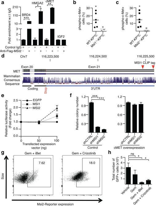 Msi controls expression of key oncogenic and epigenetic signals(a) Msi RIP-PCR for indicated transcripts. (b-c) Frequency of phospho-c-Met+ cells in WT-KPf/fC, Msi1−/−-KPf/fC, and Msi2−/−-KPf/fC mice, (b, n=8; c, n=6). (d) Schematic of c-MET exons and 3'UTR. CLIP tags (red triangles) indicate MSI1 binding in 3'UTR. (e) c-MET 3'UTR luciferase reporter activity in the presence or absence of MSI1 or MSI2 (n=3 independent experiments). (f) Colony formation of MSI1 or MSI2 knockdown cells with or without c-MET (n=4 independent experiments). (g-h) FACs analysis of tumors from Gemcitabine-treated REM2-KPf/fC mice, in the presence or absence of Crizotinib and iBet762; Vehicle (n=7), Gemcitabine (n=3), Gemcitabine+iBet762 (n=3), Gemcitabine+Crizotinib (n=3). Data represented as mean ± SEM. * P < 0.05, ** P < 0.01, *** P < 0.001 by Student's t-test or One-way ANOVA. ns, not significant. Source Data for all panels are available online.