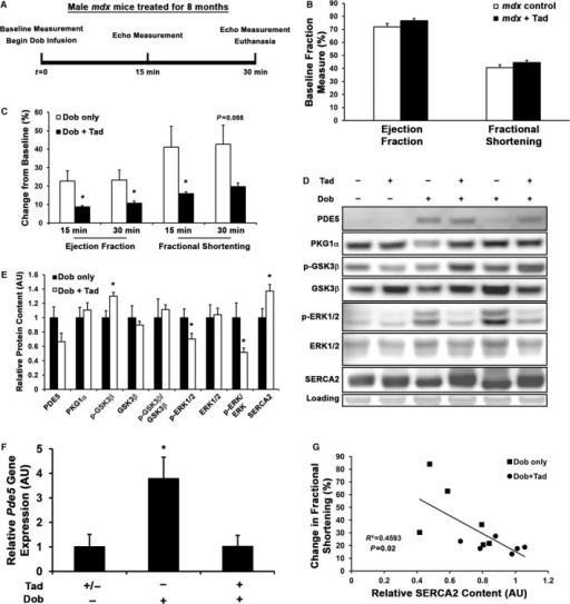 Tadalafil (Tad) protects mdx hearts from stress induced by dobutamine (Dob). Male mdx mice were control or treated with Tad (n=6) for 8 months, underwent a Dob stress test (A), and were evaluated by echocardiography. B, Baseline echocardiograph measures of ejection fraction and fractional shortening in control and Tad‐treated mdx mice. C, Dob induced changes in ejection fraction and fractional shortening (indicated as percentage change from baseline measurement). Representative blots (D) and quantification (E) of phosphodiesterase type 5 (PDE5), cyclic guanosine monophosphate–dependent kinase 1α (PKG1α), phospho–glycogen synthase kinase 3β (p‐GSK3β) and total GSK3β, phospho–extracellular signal–related kinase 1/2 (p‐ERK1/2) and total ERK1/2, and sarco/endoplasmic reticulum Ca2+‐ATPase 2 (SERCA2) protein content, as normalized to Ponceau Red staining and displayed as arbitrary units (AU) in relation to Dob only values.. Values are represented as mean±SEM; *P<0.05 vs Dob‐only treatment. F, Pde5 gene expression in control and Tad‐treated mdx hearts in response to Dob stress, as determined by reverse transcriptase polymerase chain reaction using Gapdh as a normalization control. Values are indicated as mean±SEM; *P<0.05 vs both groups (Tukey honest significant difference post hoc test). G, Preservation of SERCA2 levels shows significant inverse correlation to the Dob‐induced change in fractional shortening during the stress test.