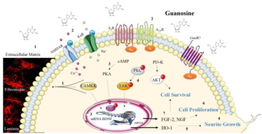 Schematic illustration of the neurotrophic effects of guanosine. In astrocytes cerebellar cultures guanosine promotes the reorganization of extracellular matrix proteins fibronectin and laminin (photomicrographs from Decker H. and colleagues [145]) via CaMKII, PKA, MAPK/ERK, PKC and PI3K/AKT activation (1) [145]. Guanosine also increases the number of cerebellar neurons in culture (or in coculture with astrocytes) by activation of these kinases. This guanosine neurotrophic effect involves A2AR activation and it is also dependent on NMDAR and Kainate receptors activation (2) [39]. In neural stem cells guanosine increases intracellular cAMP, CREB phosphorylation and BDNF mRNA levels (3) [62]. Guanosine promotes neurite outgrowth in cerebellar neurons culture by PKC activation (4) [143] and in PC12 by heme-oxygenase (HO-1) induction (5) [144]. In cultured astrocytes, guanosine promotes cellular proliferation (6) [116] and synthesis and release of neurotrophic factors, as FGF-2 and NGF (7) [141]. These neurotrophic effects of guanosine may be involved in cell survival. Figure designed using images from www.servier.com/Powerpoint-image-bank.