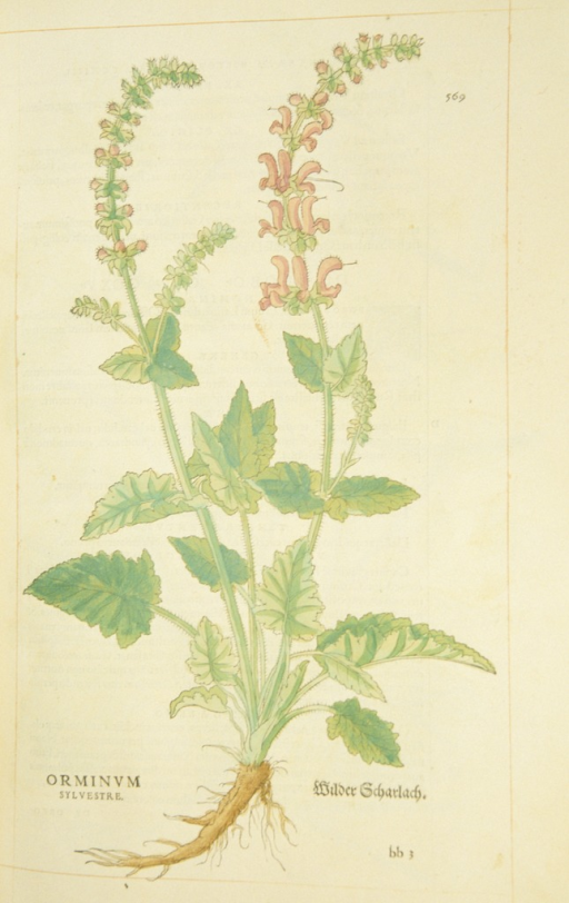 <p>Hand-colored woodcut of wild clary.</p>