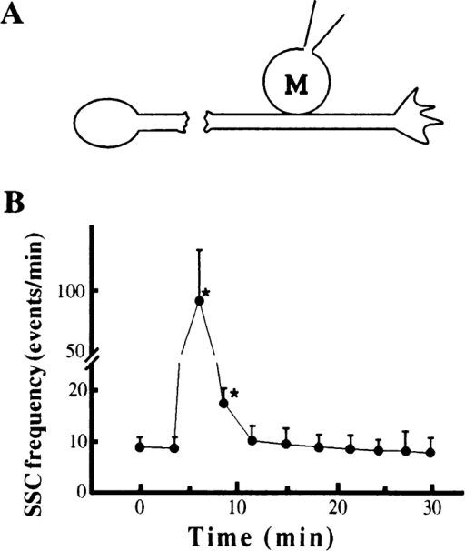 Spontaneous neurotransmitter secretion along  the axon can be detected at the  distal axonal fragments separated from the soma. (A) ACh  release along the axon was  measured using patch clamp  recordings from the myocyte  (M) manipulated into contact  with the middle axon. The  axon was transected with a  sharp microelectrode in the vicinity of the cell body. (B) The  time dependence of the SSC  frequency in recordings from  myocytes normalized to the control frequency before transection.  Typically, the SSC frequency dramatically increased immediately  after transection, and returned to the baseline level within 15–20  min after transection. Each data point is a mean ± SEM of nine  different experiments. *, significantly different from control values (P < 0.05, ANOVA).
