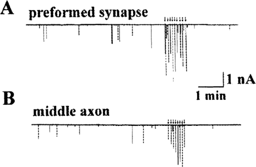 Evoked synaptic  currents (ESCs) at different  axonal segments. Continuous  traces depict the membrane  current recorded at the preformed synapse (A) and at  the middle axon (B). The  neurons were extracellularly  stimulated (0.5 ms duration,  0.2 Hz) to generate action potentials. ESCs (arrows) are shown  as downward deflections among randomly occurring SSCs.