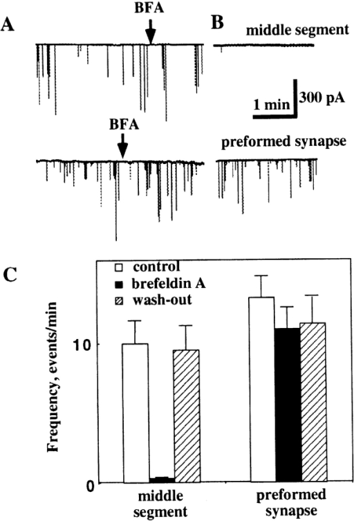 Effect of Brefeldin  A (BFA) on quantal ACh release from growing Xenopus  axons. (A and B) Current  traces are examples of  whole-cell current recordings from the myocyte manipulated into contact with  the middle axonal segment  (top traces) or from myocyte  at the preformed synapse of  Xenopus axon (bottom  traces) 1 d after cell culture  preparation. Arrows indicate the onset of BFA application (10 μg/ml). After 5  min of recording, the whole-cell pipette was withdrawn  and recording from the same myocyte was performed again 1 h  after the onset of BFA application (B). Almost complete inhibition of quantal ACh secretion was observed at the middle axon  but not at the nerve terminal after BFA treatment. (C) Quantitative analysis of the effect of BFA on the quantal ACh secretion  from the axon. Each bar represents the average of 14–27 series of  experiments ± SEM. About a 30-fold decrease in the SSC frequency was observed at the middle axonal segment 1 h after BFA  treatment. The reduction in the SSC frequency found in the  spontaneously formed synapses after BFA treatment was not statistically significant (P > 0.05, t test). After a 30-min BFA wash  out, the frequency of secretion events at various axonal regions  was similar to that recorded in control cultures.