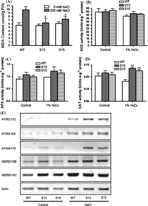 MDA level, anti-oxidative enzyme activity, and expression level of stress regulated genes in transgenic plants. (a) MDA levels in wild type and transgenic lines S13, S15 after treatment with 200-mM NaCl. (b–d) One-month-old seedlings were incubated for 12 h in 1% H2O2 or water (control) under continuous white light. SOD, APX and CAT activities were determined. Results are presented as means and standard errors from three independent experiments. * and ** indicate significant differences in comparison to the wild type at P < 0.05 and P < 0.01, respectively (Student's t-test). (e) Two-week-old seedlings of wild type and transgenic lines (S13, S15) were used for RNA extraction. For the salt stress experiments, seedlings were treated with 300-mM NaCl for 5 h before RNA isolation. The transcriptional levels of five stress genes were determined by RT-PCR analyses. The stress genes used for the tests are as follows: lipid transfer protein (AY562132); fructose-bisphosphate aldolase (AY554169); raffinose synthase family protein/seed imbibition protein (AY554170); group 2 LEA proteins NtERD 10B (AB049336) and NtERD 10C (AB049337)