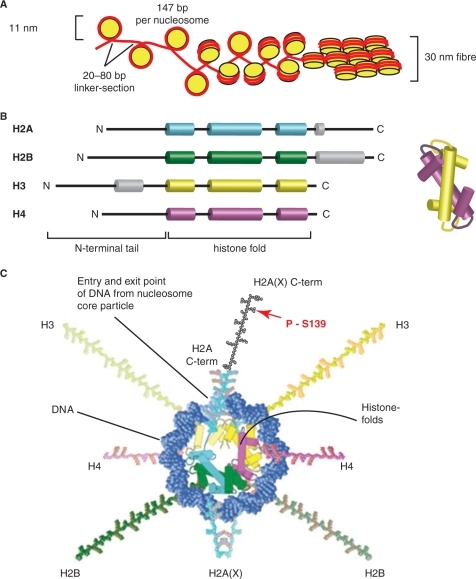 H2AX in the context of chromatin. (A) Organization of DNA in chromatin. One hundred and forty-seven base pairs of DNA (red) are wrapped around a nucleosome (yellow) consisting of eight histone proteins (two H2A/H2B dimers and two H3/H4 dimers), thus forming the 11 nm nucleosome. The histones dimerize via the histone fold motif and four histone dimers form the nucleosome core. Nucleosomes are separated by linker DNA sections of 20–80 bp in length. The DNA wraps in 1.7 turns around the nucleosome forming 142 hydrogen bonds at the DNA histone interface. The histone tails protrude from the nucleosome core and can be modified, for instance by acetylation, phosphorylation or ubiquitinylation. Further condensation of chromatin, as in the 30 nm fiber, allows a 100-fold compaction of DNA (schematic representation; the actual organization of the nucleosomes in the 30 nm fiber is still under investigation). (B) All histone proteins share the highly conserved histone fold motif (displayed in color) containing the three alpha helices involved in nucleosome core organization. Alpha helical domains outside the histone fold domain are shown in gray. The structure on the right illustrates how two histone fold domains interact for dimer formation. (C) A model of the nucleosome core particle showing DNA interactions with core histones (redrawn in a modified form from Ref. (148)).The DNA entry and exit points are localized at the H2A/H2B dimer. The H2AX C-terminus, which is 14 amino acids longer than that of H2A, is drawn here (there are no structural data available and the schematic drawing is only for demonstration purposes) in black with a red arrow marking the phosphorylation site within the SQEY motif.