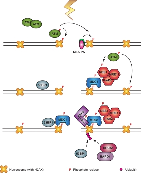 γ-H2AX is a specific and efficient coordinator of DDR signaling. Following the initial phosphorylation of H2AX by ATM, or DNA-PK, a nucleation reaction is initiated starting with the recruitment of MDC1 and continuing with that of the MRN complex to further activate ATM. This generates a feedback loop that leads to further phosphorylation of H2AX and the chromatin modifications required for the recruitment of 53BP1. The activation cascade culminates with the recruitment of RNF8 to phosphorylated MDC1 and the polyubiquitinylation of H2AX to recruit BRCA1/BARD1 (see text for details).