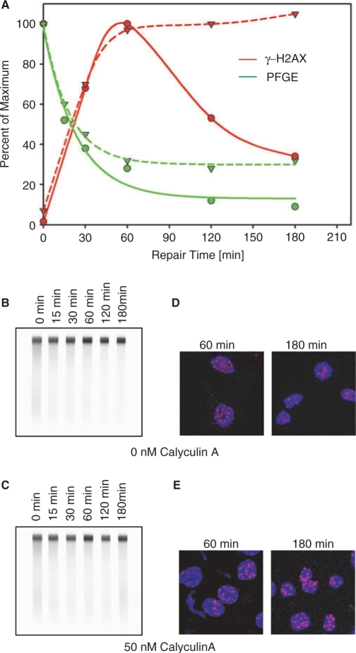 Effect of the phosphatase inhibitor Calyculin A on DSB repair kinetics and γ-H2AX foci development and decay. (A) Plateau-phase A549 cells were incubated with 0 or 50 nM Calyculin A 15 min prior to exposure to 20 or 1 Gy X-rays for PFGE or γ-H2AX immunofluorescence, respectively, and allowed to repair at 37°C for the indicated periods of time (other details of experimental design as in Figure 5). Results are shown normalized as described in Figure 5. (B, C) Typical PFGE gels used to generate the results shown in A for cells treated with 0 or 50 nM Calyculin A. DNA is stained with ethidium bromide. (D, E) γ-H2AX immunofluorescence at different times after irradiation and incubation with 0 or 50 nM Calyculin A. Other details as in Figure 5.