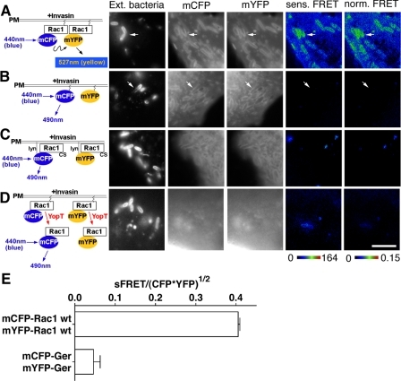 "Rac1 self-association is stimulated by Yersinia infection. COS1 cells were transfected with mCFP-Rac1 and mYFP-Rac1 constructs (A and D), mCFP-GerGer and mYFP-GerGer (B), or Lyn-mCFP-Rac1(C189S) and Lyn-mYFP-Rac1(C189S) (C). Transfected cells were challenged the next day with a 30-min incubation of YPIII(p-) (A-C) or YP17/pYopT (D), followed by immunostaining of extracellular bacteria (Ext. bacteria) bound onto host cells. Sensitized and normalized FRET readings (sens. FRET and norm. FRET, respectively) were determined as described (see ""Materials and Methods""). The arrows denote nascent phagosomes. E, mean normalized FRET levels at nascent phagosomes were plotted comparing mCFP-Rac1/mYFP-Rac1 and mCFP-GerGer/mYFP-GerGer as described in the legend to Fig. 3I. White scale bar in D, 5 μm (applies to all panels)."