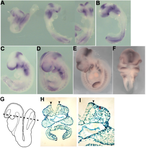 The whole mount expression pattern of Spry1 in developing mouse embryos. (A) E8.0, (B) E8.5, (C) E9.0, (D) E9.5 and (E, F) E10. Spry1 is expressed in the primitive streak, brachial arches, midbrain-hindbrain boundary, lateral mesoderm and tail bud. E8.5 Spry1+/-LacZ embryos were stained with β-gal and sectioned through the plane indicated (G). β-gal staining is evident in the presumptive neural crest (H, arrowheads indicate the neural folds) and higher magnification (I).