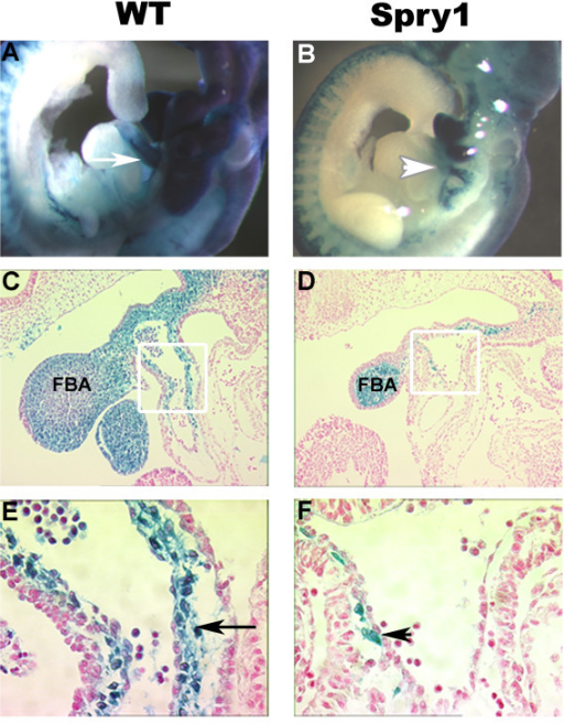 Spry1;Wnt1-Cre embryos show outflow tract defects at E9.5. (A, B) Whole mount β-gal staining of Cre-negative littermate control and Spry1;Wnt1-Cre E9.5 embryos. (A) WT shows intense β-gal staining of the outflow tract (white arrow) and branchial arches, indicating cells of NC origin. (B) Spry1;Wnt1-Cre E9.5 embryo, shows variable β-gal staining of the pharyngeal arches and reduced staining of the outflow tract (white arrowhead). (C, D) Sagittal sections of whole mount embryos with nuclear fast red counter-staining. (C) WT shows normal distribution of cardiac NCC within the outflow tract, with β-galactosidase positive NCC cells extending down to the bulbis cordis. Panel D, Spry1;Wnt1-Cre reveals outflow tract with reduced β-galactosidase positive NCC cells. In addition the first branchial arch, mandibular component, is greatly reduced in size relative to the WT. The outflow tract in Spry1;Wnt1-Cre embryos is shortened and does not adopt the spiral configuration as seen in the WT. (E,F) High power images of C,D; white boxed areas indicate field of view. (E) WT, black arrow indicates cardiac NCC contributing cardiac mesenchyme. (F) Spry1;Wnt1-Cre embryo, black arrowhead notes paucity of NCC in cardiac mesenchyme. FBA: first branchial arch, mandibular component. Data are representative of six embryos from each group.