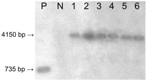 Southern blot indicating the presence of α-AI1 in the genome of Coffea arabica T0 plants. P, positive control (α-AI1 Fragment, 735 bp); N, non-transformed coffee plant; 1 - 6, α-AI1 positive coffee plants (4150-bp fragment). Plant DNA extracts were digested with the enzymes PvuII, EcoRI and ClaI at the same time.