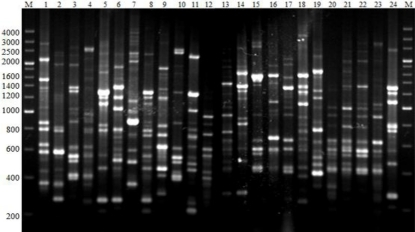 PCR DNA fingerprints generated with primer BOXAIR. Lanes (1–24) represent the BOXAIR groups 1, 2, 4, 5, 6, 8, 10, 11, 12, 13, 16, 18, 19, 20, 21, 23, 25, 26, 27, 29, 30, 31, 33 and 35. Lanes M are the marker 200 bp DNA ladder.