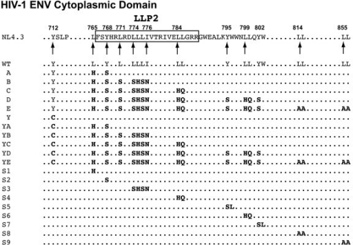 HIV-1 Env cytoplasmic domain Y- and LL-motif mutagenesis strategy. The key amino acids of the Y- and LL-motifs targeted for mutagenesis are listed under the corresponding location in the sequence of NL4-3 envelope cytoplasmic domain. WT residues are indicated by regular-faced type, and the residues in bold-faced type represent the mutations for each mutant. The glycoproteins are separated by those containing the WT Y712 motif and by those containing the Y712C mutation.