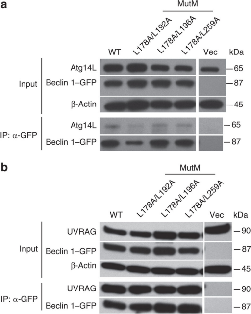 Monomeric (MutM) mutants of Beclin 1 CC domain retain interaction with Atg14L and UVRAG.(a,b) Interaction of Beclin 1 wild-type and monomeric (MutM) mutants with Atg14L or UVRAG in cultured cells. HEK 293T cells were transfected with GFP-tagged Beclin 1 variant alone (a) or together with FLAG-UVRAG (b). The lysates were immunoprecipitated by GFP antibody, followed by western-blot analysis with anti-Atg14L antibody for detecting binding to endogenous Atg14L (a) or with anti-UVRAG antibody for detecting binding to the FLAG-tagged UVRAG protein (b).