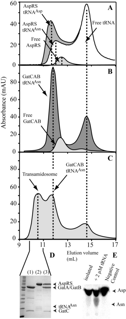 Size-exclusion chromatography shows formation of a transamidosome complex by ND-AspRS, GatCAB and tRNAAsn. (A) Comparison of isolated ND-AspRS and ND-AspRS/tRNAAsp and ND-AspRS/tRNAAsn complexes. The observed association enabled an estimation of the KD value for binding of each tRNA to ND-AspRS (see 'Materials and Methods' section). KD values for the binding to ND-AspRS are 7.9 and 21.4 µM for tRNAAsp and tRNAAsn, respectively. (B) Comparison between free GatCAB and GatCAB/tRNAAsn complexes. The KD value for this association is 2.1 µM. (C) Elution profile of a mixture containing GatCAB, ND-AspRS and tRNAAsn. (D) SDS–PAGE profile of a SEC fraction (lane 3) compared to GatCAB alone (lane 1) and ND-AspRS alone (lane 2). (E) TLC plate demonstrating that the complex eluted in the first peak (termed 'isolated') is able to produce Asn-tRNAAsn alone, or when supplemented with excess tRNAAsn (termed '+2 µM tRNA'), compared to a negative control where GatCAB was omitted. All partners were mixed to a final concentration of 20 µM each. All KD values determined varied within 10%.