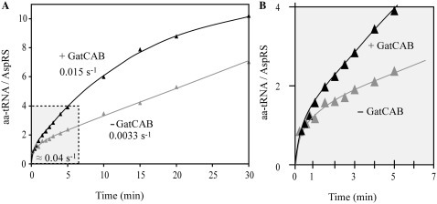 GatCAB influences aminoacylation kinetics for tRNAAsn with Hp ND-AspRS. Pre-steady-state kinetics were conducted under the same conditions of pre-steady-state as previously (4°C, 15% glycerol). (A) In the presence of saturating GatCAB concentration (10 µM), the steady-state rate of tRNAAsn misacylation increases and the burst value slightly decreases. These results suggest that GatCAB increases the dissociation of Asp-tRNAAsn. (B) Zoom on the 4 first aminoacylation cycles (in the presence of GatCAB), corresponding to the gray zone in (A). SE was <5% on all values.