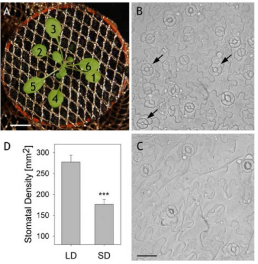 Growth and selection of Arabidopsis guard cells on epidermal peels. (A) Rosette of a plant after 19-d growth at the stage from which epidermal peels were taken for impalements. Plants were grown in individual flower pots, covered with a polyester mesh. True leaves are numbered in order of their appearance. Scale bar, 1 cm. (B, C) Epidermal peels taken from plants grown under long- and short-day periods, respectively. Note the higher density of stomata and the smaller size of the epidermal cells in (B). Scale bars, 30 μm. Arrows in (B) indicate examples of guard cell pairs favoured for impalement (D) Stomatal densities of plants grown under long-day (LD) and short-day (SD) (n = 46). The significance level is indicated with asterisks (P < 0.01).
