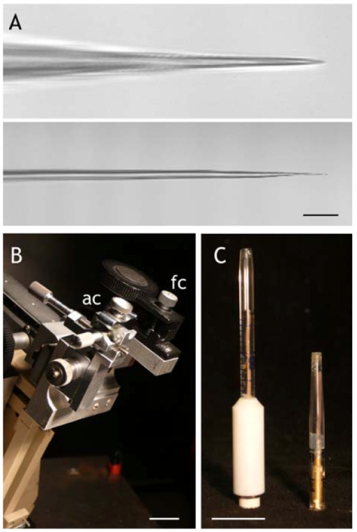 Mechanical improvements for Arabidopsis guard cell impalement.  (A) Double-barrelled microelectrodes pulled with settings for Vicia (above) and for Arabidopsis (below), in the latter case showing a 1–1.5o taper to the final 10 μm of the tip. The extreme tips of both microelectrodes are below the resolution of the light microscope. Scale bars, 10 μm. (B) A custom-built brace with a fixed clamp (fc) for one amplifier headstage and a second, adjustable clamp (ac) provided by a Narashige C2 micromanipulator. The entire brace is fixed to the lateral, rack-and-pinion coarse movement of a Huxley-type micromanipulator visible behind. Scale bar, 1 cm. (C) Halfcells of the Ag/AgCl-KCl type constructed (left) using 0.5 mm diameter Ag wire soldered to a 2-mm diameter socket threaded in a PTFE sleeve and fitted with silicon and glass tubing, and (right) using 0.5 mm diameter Ag wire soldered to a 2-mm diameter socket and press-fit with a silicon plug behind the tip segment of a 2-ml graduated polypropylene pipette tip. Scale bar, 1 cm. When backfilled with KCl electrolyte, the halfcells weigh 5.5 g (left) and 0.6 g (right). For general details of halfcell construction, see [9].