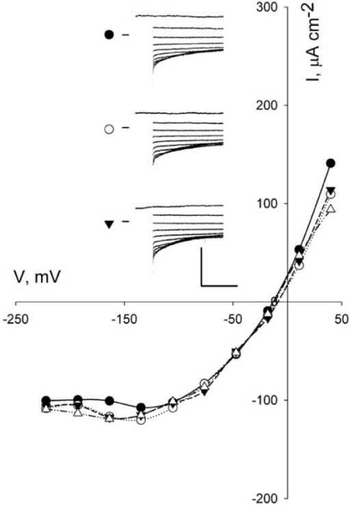 Effect of pre-treatment with opening buffer (OB) on I anionin wild-type Arabidopsis . Steady-state current–voltage curves for Ianion from one guard cell recorded after 2-h pretreatment with OB. Current–voltage curves for Ianion are not corrected for background. Rundown in this cell was evident only after 65 min. Data shown are taken from voltage clamp scans at 10 (closed circles), 20 (open circles), and 30 (inverted closed triangles) and 40 min (open triangles) after the impalement. Conditioning voltage was +50 mV with 10-s steps to voltages between +50 mV and −220 mV. Inset: Raw current traces for recordings at 10, 20 and 30 min cross-referenced by symbol. Scale: vertical, 300 μA cm-2; horizontal, 5 s.