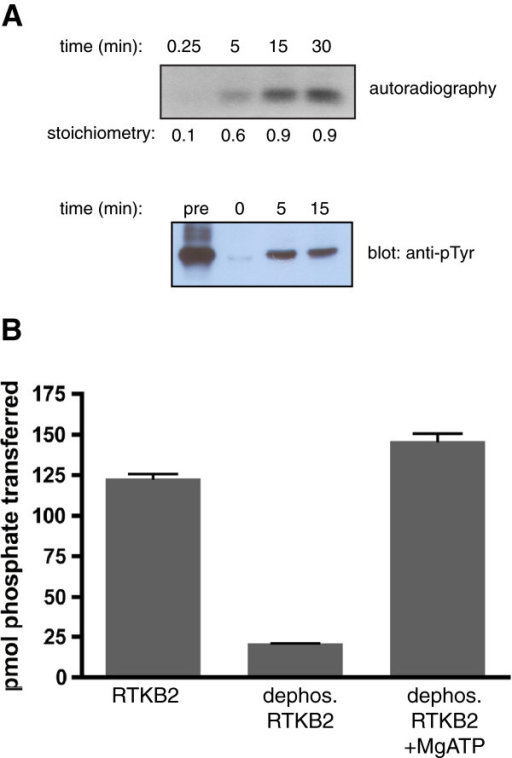 "RTKB2 autophosphorylation. (A) RTKB2 kinase was first treated with GST-YOP phosphatase, then incubated for the indicated times in the presence of 0.5 mM ATP. Top panel: the autophosphorylation reaction contained [γ-32P]-ATP, and the reaction was analyzed by SDS-PAGE and autoradiography. Incorporation of 32P into RTKB2 kinase was also measured by scintillation counting, and the stoichiometry (mol phosphate/mol RTKB2) is presented below the gel. Bottom panel: unlabeled ATP was used in the reaction, which was analyzed by SDS-PAGE and Western blotting with anti-pTyr antibody. Also analyzed were samples of RTKB2 kinase before YOP treatment (""pre"") and after YOP treatment but before autophosphorylation (0 min.). (B) The activity of Sf9-purified RTKB2 towards the E4YM4 synthetic peptide was measured either directly (RTKB2), after treatment with YOP tyrosine phosphatase (dephos. RTKB2), or after treatment with YOP followed by an autophosphorylation reaction (30 min at 30°C; dephos. RTKB2 + MgATP). Activity was measured using the phosphocellulose paper binding assay."