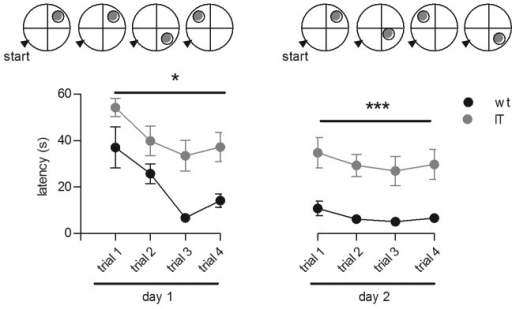 Figure 6. Behavioral phenotype of adult wt and IT mice. Performances of mice (latency to escape from the pool onto the platform) in the visible platform test of the Morris water maze task during 4 trials per day over 2 training days are shown. The fixed starting position of the mice is indicated by a black arrow while the varying positions of the platform are indicated by gray circles. Data represent the mean ± SEM; n = 13 for wt mice (black circles) and n = 11 for IT mice (gray circles). * p < 0.0.5 and *** p < 0.001 using a repeated-measures ANOVA and a post Fisher LSD test.