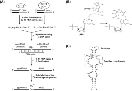 Method for the site-directed spin labeling approach. (A) Schematic representation of the synthesis of site-specific spin labeled RNA. 6-thioguanosine-5′-O-monophosphate (pG6T = 6-T-GMP) is incorporated at a specific position. (B) The proxyl-RNA coupling reaction involves the addition of 3-(2-Iodoacetamido)-proxyl on 6-thioguanosine-5′-O-monophosphate. (C) Secondary structure of the 55-nt (tyrS) RNA molecule corresponding to the specifier loop domain and K-turn sequence motif of the tyrS leader RNA. The Specifier Loop Domain and the tetraloop are boxed. The arrow indicates the chosen segmentation site and the circle indicates the thio-modified site.