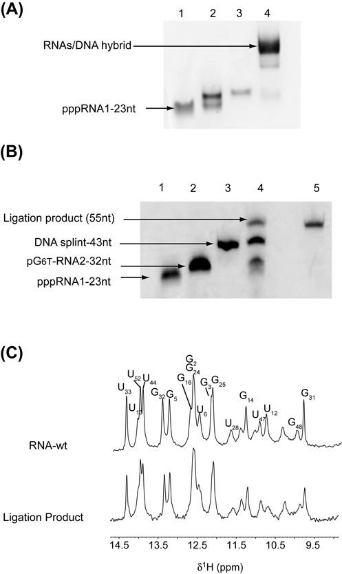 Synthesis of site-specific spin-labeled RNA. (A) Native gel electrophoresis on 10% polyacrylamide. RNA segments and DNA splint were loaded in the T4 RNA ligase 2 buffer: lane 1, (pG246T-C55); lane 2, (pppG1-G23); lane 3, DNA splint; lane 4, (pppG1-G23) + (pG246T-C55) + DNA splint. (B) Denaturing 12% polyacrylamide gel. Lane 1: RNA fragment (G1-G23) acceptor; lane 2: RNA fragment (pG246T-C55) donor; lane 3: DNA splint (43-nt); lane 4: preparative ligation; lane 5: purified ligation product. (C) Imino-proton region of 1D spectra recorded at 20°C of the wild-type RNA full-length (top) and the ligation product (bottom). All imino protons were assigned via sequential Nuclear Overhauser Effects (NOEs) observed in 2D-NOESY experiments, with the exception of the resonances at 10.37, 11.09 and 11.43 p.p.m. that could not be identified unambiguously.