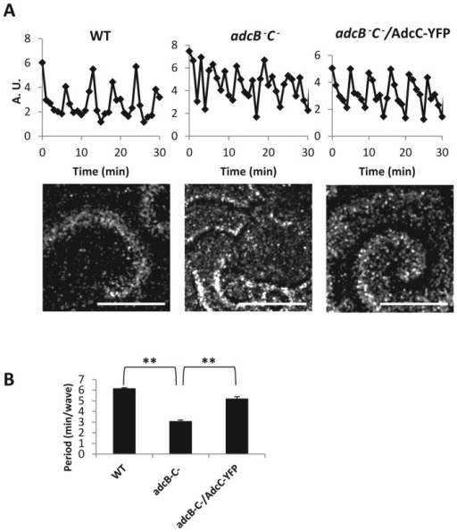Arrestins play a role in controlling oscillations of cAMP signaling. (A) cAMP oscillations were observed in the wild-type, adcB−C−, and adcB−C− cells expressing AdcC-YFP during early development by capturing dark-field images every 1 min with a stereo microscope. Time plots were generated by measuring intensity changes in the frame-subtracted image sequence. Stills showing the differences in the dark-field wave patterns between the strains appear below the respective time plots. Scale bar, ∼0.5 mm. (B) The period of cAMP oscillation was analyzed with three mounds per movie and graphed. Means (n = 3) and SDs are shown. Statistical significance was assessed by t test, **p < 0.01. Independent experiments were performed at least twice.