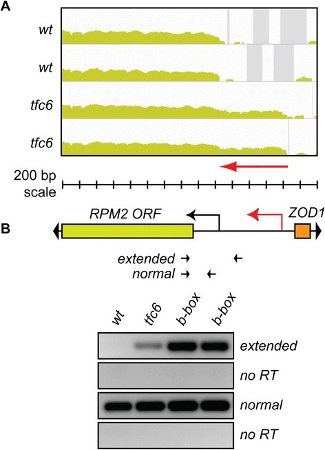 5′-UTR extension at non-tDNA/non-ETC Pol III associated locusZOD1-RPM2. A) IGV profiles showing extended 5′-UTR of RPM2 in tfc6 mutants. B) Schematic of locus and location of primers. As before, extended transcripts are enriched in tfc6 mutant and B-box mutant strains relative to wild type. Strains used were wild type DDY3630, tfc6 DDY4300, and B-box mutants DDY5164 and DDY5165. IGV, integrative genomics viewer; Pol III, Polymerase III.