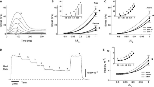 "Isometric total and active stress‐length relations and heat‐length relation. (A) Records from a representative failing spontaneously hypertensive rat (SHR‐F) trabecula of steady‐state isometric twitches as functions of decreasing muscle length (a–g, where ""a"" represents the isometric developed stress at Lo). (B) Average total and passive stresses as functions of relative muscle length (L/Lo) obtained by fitting cubic regressions, respectively, to the peak stress and passive stress data; the inset plots stress development as a function of L/Lo of a representative trabecula. (C) Average active (total minus passive) stress‐length relations; the inset shows data from the same trabecula. (D) Record of rate of heat output from a representative trabecula subjected to variable muscle‐length isometric contractions. (E) Heat per twitch (rate of heat production divided by stimulus frequency) as function of L/Lo. The symbol ""*"" denotes significant effect of ""Strain"" (i.e., comparing the mean regression line of the Wistar group with the average of the regression lines of both the nonfailing SHR (SHR‐NF) and SHR‐F groups); ""+"" denotes significant effect of ""Failing"" (i.e., comparing the mean regression line of the SHR‐F group with that of the SHR‐NF group). Data (mean ± SE) at Lo were superimposed on appropriate panels to demonstrate the variability of each average regression line."