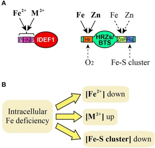 Possible Fe signals recognized by IDEF1 and HRZs/BTS. (A) Known or putative binding of Fe and related molecules to domains of IDEF1 and HRZs/BTS. Solid and broken lines indicate known and putative bindings, respectively. M2+, divalent metal ions such as Zn, copper and nickel. HN, histidine-asparagine repeat; P, proline-rich region; Hr, hemerythrin domains; ZnF, Zn finger domains; Ru, rubredoxin-type fold. (B) Deduced effects of intracellular Fe deficiency on concentrations of Fe and related molecules which may act as Fe signals.