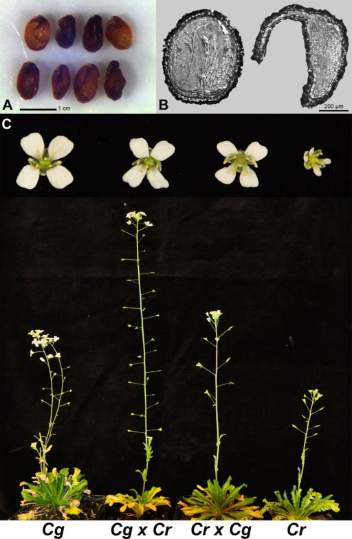 C. rubella × C. grandiflora hybrid embryos are viable, revealing a major role of endosperm defects in hybrid seed incompatibility.(A) C. rubella × C. grandiflora hybrid seeds at 13 days after pollination (DAP). (B) Section through seeds derived from crosses of C. rubella × C. rubella (left) and C. rubella × C. grandiflora (right) at 13 DAP. The sections reveal that hybrid embryos reach the torpedo stage at which development arrests. (C) Comparison of adult plants of all crosses (C. grandiflora × C. grandiflora (Cg), C. grandiflora × C. rubella (Cg × Cr), C. rubella × C. grandiflora (Cr × Cg), C. rubella × C. rubella (Cr)). Flower phenotypes of the respective genotypes are shown on top.