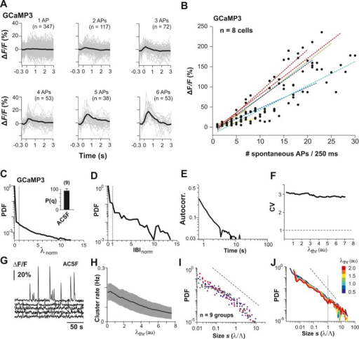 Neuronal avalanche dynamics recorded in vitro using GCaMP3 in organotypic cortex cultures.(A) GCaMP3 covers a wide dynamic range of spike bursts but fails to reliably capture burst sizes <3 APs. Loose-patch recordings combined with 2-PI of cortex slice cultures grown for ∼2 weeks. Fluorescence traces triggered on spontaneously occurring AP bursts and sorted by the number of spontaneous APs/250 ms. Note the relative insensitivity of GCaMP3 to small bursts establishing a natural threshold of λthr in the data acquisition. Single PN. (B) Summary of change in fluorescent intensity ΔF/F, which increases linearly with spontaneous APs/250 ms, but is undetectably low at sizes <3 APs (n = 8 cells; color codes). Broken lines: regression for individual neurons. (C) Average λnorm distribution for all ROIs. Vertical line, λnorm = 1. (D) Corresponding average distribution in normalized quiescent time intervals, IBInorm. Vertical line, IBInorm = 1. (E) Mean λ autocorrelation function. Note the strong decay in autocorrelation demonstrating temporal correlations for up to 10 s. (F) CV in AP firing is much larger than 1 and independent of λthr. (G) Representative traces of changes in fluorescent intensity (ΔF/F) simultaneously recorded over time from GCaMP3-expressing L2/3 PNs in vitro. Note the relatively sparse activity compared to YC2.60 recordings and large fluctuations in burst amplitudes. (H) Cluster rate as a function of λthr. (I) Cluster size distributions of individual cultures based on GCaMP3 recordings. (J) Average power-law distributions in normalized cluster size s for different λthr (color scale). Observed cascade sizes with the burst indicator GCaMP3 also follow a power law up to the cut-off of s = 1. Dashed line, slope = −1.5.DOI:http://dx.doi.org/10.7554/eLife.07224.017
