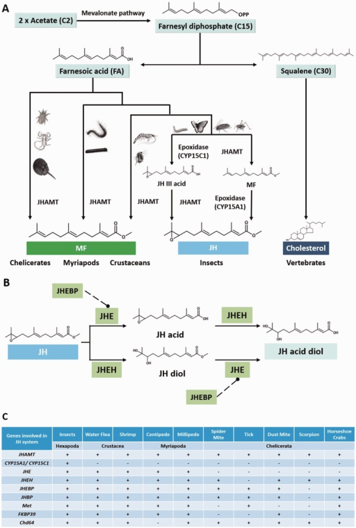 "— Schematic diagrams showing (A) biosynthetic and (B) degradative pathways of sesquiterpenoid hormones in arthropods (Hui et al 2010, 2013; Sin et al 2014; for details, refer to the main text); (C) summary of the presence of the sesquiterpenoid biosynthetic, degradative, and signaling pathway genes in the investigated arthropod genomes. ""+"" denotes presence and ""−"" represents the absence of supporting evidence."