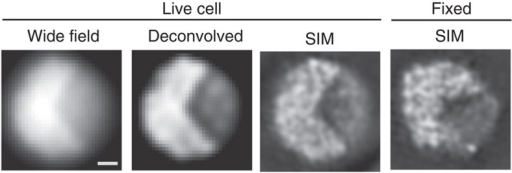 Appearance of chromatin in the interphase nucleus of S. pombe.Chromatin structure in the interphase nucleus of S. pombe expressing H2B-GFP observed using 3DSIM. Single optical sections are shown. Raw (wide field), deconvolution and 3DSIM images of a single nucleus of a live cell are shown, together with a single 3DSIM image of another fixed cell. The contrast of the images is adjusted to show the background with a very low noise level. Fixed cells showed chromatin structures similar to the live cells. Scale bar, 500 nm.