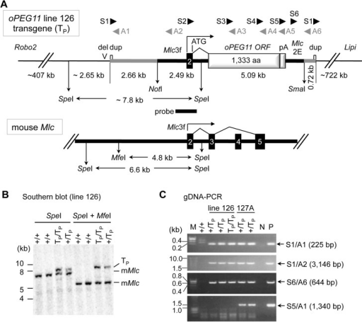 Characterization of the oPEG11 transgene.A. Organization of the oPEG11 transgene (TP) integration site in mouse oPEG11 line 126 and endogenous mouse Myosin light chain (Mlc) locus. Thick black lines correspond to upstream, intronic and downstream sequences of the Mlc gene including the 3F promotor (Mlc3F) and 2E enhancer (Mlc2E); the numbered black boxes to Mlc exons; the thick grey line to vector-specific sequences including a 220 bp duplicated segment marked by a small white box (dup); the light gray boxes to the open reading frame of ovine PEG11 (oPEG11 ORF) and bovine GH polyadenylation site (pA), respectively; the thin black lines to the transgene integration site flanked by Robo2 at 407 Kb on the proximal site, and Lipi at 722 Kb on the distal site. The positions of the NotI and SmaI sites in the vector intended to excise the insert DNA for microinjection are shown, as are the positions of the SpeI and MfeI sites determining the size of the restriction fragments detected with the indicated probe (probe) in Southern blotting for the transgene integration site and endogenous Mlc gene. The position of greater than or equal to 1.6 Kb deletion at the integration site is indicated (del). The position of the primers used for PCR and RT-PCR are shown. B. Results of Southern blotting of genomic DNA of homozygous +/+, heterozygous +/TP, and homozygous TP/TP mice (oPEG11 line 126), digested with SpeI (left) or SpeI + MfeI (right), using the probe with position as shown in A. The bands corresponding to the transgene (TP), and endogenous Mlc gene (mMlc) are marked. C. Results of PCRs performed using genomic DNAs and the primers shown in A to clarify the transgene organization in mouse oPEG11 lines 126 and 127A.