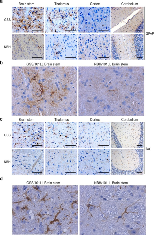 Morphological glial cell responses are restricted to specific brain regions.(a) Severe astrogliosis is observed in the brain stem and thalamus of GSS/101LL but is not detected in NBH/101LL age-matched controls or in the cortex or cerebellum of GSS/101LL mice. (b) High magnification image demonstrating the change in astrocyte expression of GFAP in GSS/101LL mice compared to equivalent NBH/101LL brain regions. (c) A distinct change in cell morphology to that of a hypertrophied cell body and short thick processes could be observed in Iba1+ cells, indicative of activated microglia, in GSS/101LL brain stem and thalamus. No change in cell morphology was observed in either NBH/101LL age- and region-matched control samples or in GSS/101LL cortex and cerebellum samples. (d) High magnification image to highlight the shortening and thickening of microglial processes, a characteristic common to morphologically activated microglia. These findings are observed consistently across all animals tested; GSS/101LL (n = 9), NBH/101LL (n = 4). Scale bars = 100 μm.