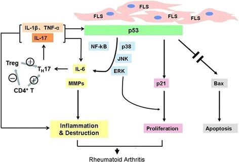 p53 plays a pivotal role in inhibiting synovial inflammation. The inflammation of the synovium in RA significantly inhibits p53 expression or leads to p53 dysfunction. In turn, suppressed p53 results in increased secretion of IL-6, which further suppresses p53, probably by modulating Th17 differentiation. FLS fibroblast-like synoviocytes, IL interleukin, TNF tumor necrosis factor, TH17 IL-17 producing T helper, Treg regulatory T