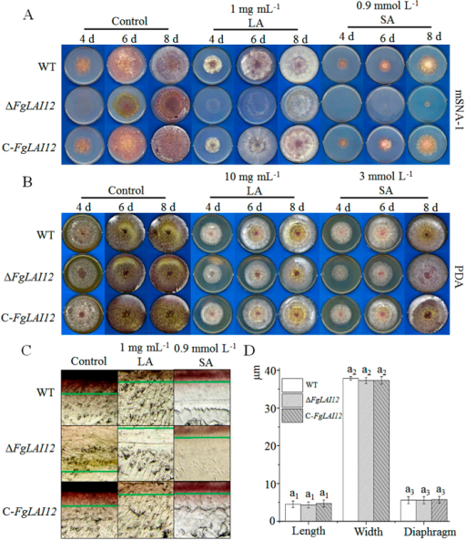 Effect of FgLAI12 on fungal biology.Mycelial growth of the WT, ΔFgLAI12 and C-FgLAI12 on mSNA-1 (A) and PDA plates (B) under treatment with LA and SA on the 4th, 6th and 8th days after inoculation. (C) Microscopic observation of mycelia growth within mSNA-1 plates supplemented with LA and SA. The depth of hyphae is marked with green lines. Agar plugs (0.5 cm2) cut from the edge of growing mycelia (Fig. 4A) were photographed with an Olympus SZ51 (Japan). (D) Comparison of conidial length, width and the number of septa of the WT, ΔFgLAI12 and C-FgLAI12. Different letters above each column indicate a significant difference (P < 0.05; n = 1000). The same rule as mentioned in the legend of Fig. 3 is used for indicating the significance within treatment, when there are more than one treatments in the same chart.