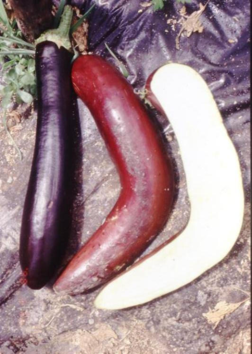 Eggplant fruits of the transgenic parthenocarpic hybrid P1 from the greenhouse spring trial. Left: fruit at the stage of commercial ripeness; middle: an overripe eggplant fruit from a border plant; right: a longitudinally cut fruit showing the complete absence of seeds.