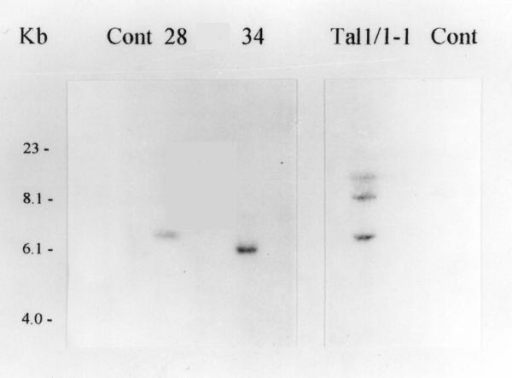 Southern blot analysis of transgenic eggplants. Numbers above the lanes indicate the independent transgenic plant DR2iaaM#28-1 (28), DR2iaaM#34-1 (34) and Tal1/1iaaM#1-1 (Tal1/1-1). Cont indicates untransformed plants, i.e. DR2 and Tal1/1, respectively. The probe used corresponds to the DefH9 regulatory region.