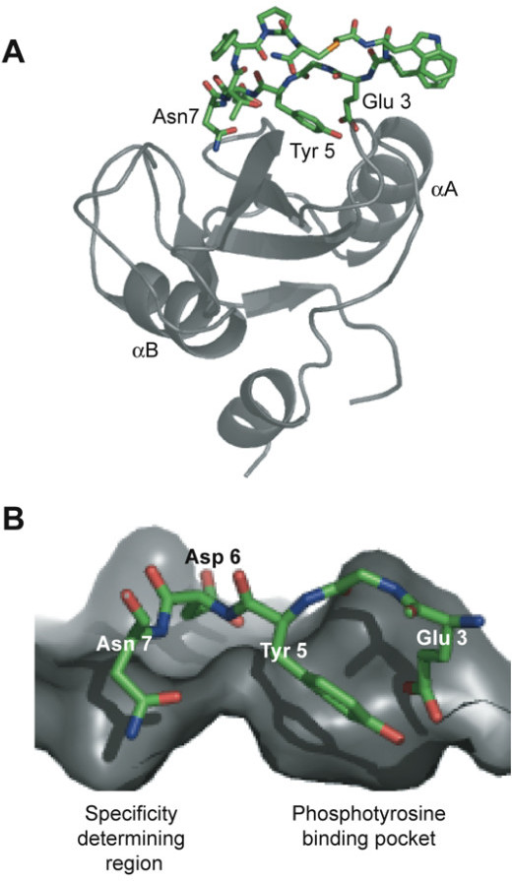 Model of the Grb7 SH2/G7-18NATE complex. (a) The modeled structure of the complex. The Grb7 SH2 domain is shown in grey in cartoon representation and G7-18NATE in stick representation with carbon atoms coloured green. The positions of the two α-helices are indicated. The model was prepared using the structure of the Grb2 SH2:pYVN complex (1JYR; [52]) as a template and energy minimised using NAMD [79]. (b) A close up of the Grb7 SH2/G718-NATE interface. The Glu3 and Tyr5 side-chains occupy the phosphate binding pocket while the Asn7 side-chain occupies a second pocket in the specificity determining region of the domain. Only Glu3, Tyr5, Asp6 and Asn7 are shown for clarity.