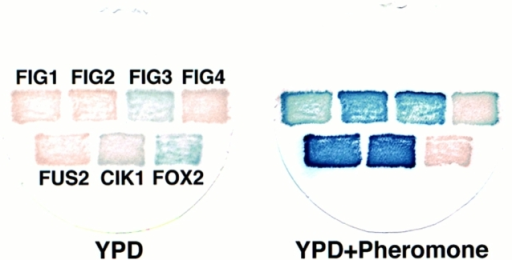 Examples of pheromone-regulated lacZ fusions. Seven  yeast strains containing the lacZ fusions indicated were incubated  in YPD medium in either the absence (left) or presence (right) of  pheromone for 12 h. Examples are shown of strains with fusions  in genes whose expression is dependent upon mating pheromone  (FUS2, FIG1, FIG2, and FIG4), enhanced by pheromone (CIK1,  KAR5/FIG3), or repressed by pheromone (FOX2).