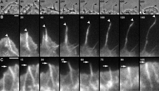 Interconversion between microspikes, filopodia, and retraction fibers. Time-lapse sequences of untransfected (A, phase contrast) or GFP-actin expressing (B and C, fluorescence) cells. Time in seconds. (A) Lamellipodium containing several microspikes (triple arrow and arrowhead in first frame) retracts leaving microspikes in the form of retraction fibers (240 s), some of which continue to protrude (240–400 s, arrow). At ∼400 s, lamellipodium resumes protrusion and absorbs retraction fibers, some of which disappear, one becoming a filopodium (560 s, arrow), and another becoming a microspike (560 s, arrowhead). (B) Transition of a microspike (0 and 20 s) to filopodium (20–60 s) to retraction fiber (60–140 s). Actin bundle displayed continuous elongation, whereas surrounding lamellipodium initially kept up with the bundle (0–20 s), paused (40 s), and then withdrew (60–140 s). (C) Transition of microspike (0–30 s) to filopodium (45–75 s) and back to microspike (90–105 s) as a result of uncoordinated protrusive behavior of the bundle and the lamellipodium. Bars, 2 μm.