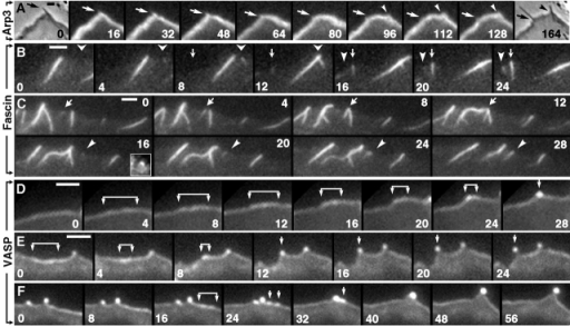 Kinetics of marker proteins during filopodia initiation. Time-lapse sequences of GFP-Arp3 (A), GFP-fascin (B and C), or GFP-VASP (D–F). (A) Two flanking phase contrast frames (0 and 164 s) demonstrate formation of a new filopodium during the sequence. Positions of preexisting (arrow) and nascent (arrowhead) filopodia are indicated. No focal enrichment of Arp3 was seen during formation of the nascent filopodium. (B and C) Most nascent filopodia arise from bright GFP-fascin dots without obvious Λ-precursors. In some cases, a bright dot localizes to the tip of a faint Λ-shaped density, as in the inset in 16 s frame in C, which shows the region indicated by arrowhead in this frame after enlargement and adjustment of contrast to reveal weak fluorescence. Filopodia fusion occurs in C (arrows). (D–F) Bright GFP-VASP dots corresponding to nascent filopodia arise by gradual coalescence of the initially even line of leading-edge fluorescence. Brackets indicate regions of brighter GFP-VASP fluorescence that shrink into dots over time. In F, two smaller dots (24 s) are formed during coalescence of the shrinking region, which subsequently fuse with each other (32 s) and with the adjacent preexisting dot (40 s). Bars, 2 μm.