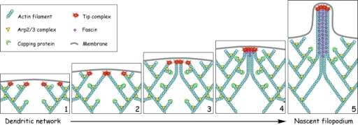 Convergent elongation model for filopodia initiation. (1) Lamellipodial network is formed by Arp2/3-mediated dendritic nucleation. Elongation of some barbed ends in the network is terminated by capping protein, but other barbed ends acquire a privileged status by binding a complex of molecules (tip complex) that allows them to elongate continuously. Ena/VASP proteins are likely members of the tip complex mediating protection from capping. (2) Privileged barbed ends drift laterally during elongation and collide with each other. Tip complex mediates clustering of privileged barbed ends upon collision. (3) Converged filaments with linked barbed ends continue to elongate together. Other laterally drifting barbed ends encounter and join the initial cluster of tip complexes. Multiple collisions of barbed ends during elongation lead to gradual clustering of their barbed ends, multimerization of associated tip complexes, and convergence of filaments. (4) The multimeric filopodial tip complex initiates filament cross-linking by recruiting and/or activating fascin, which allows the bundling process to keep up with the elongation and guarantee efficient pushing. (5) In the nascent filopodium, the filopodial tip complex retains its functions of promoting coordinated filament elongation and bundling, as well as fusion with other filopodia.