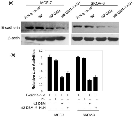 "(A) Effect of overexpression of Id2 or its mutants on E-cadherin protein expression. Total proteins were extracted from the indicated cells for analysis of E-cadherin protein by western blot. (B) Effect of overexpression of Id2 or its mutants on the transactivation of E-cadherin gene promoter. The indicated cells were transiently cotransfected with the indicated plasmids for luciferase assay as described in ""Methods"". Data are expressed as mean ± SEM for at least three separate determinations."